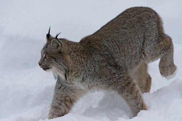 Lynx 1, IMG_0500 - Nature