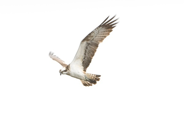 IMG_5561 - Ospreys