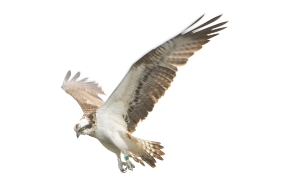IMG_5564 - Ospreys