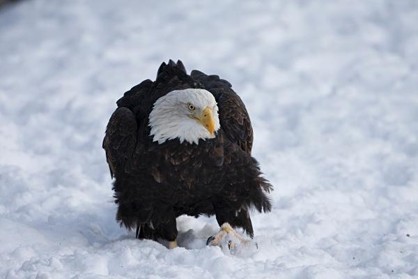 Bald Eagle IMG_1639 - Nature