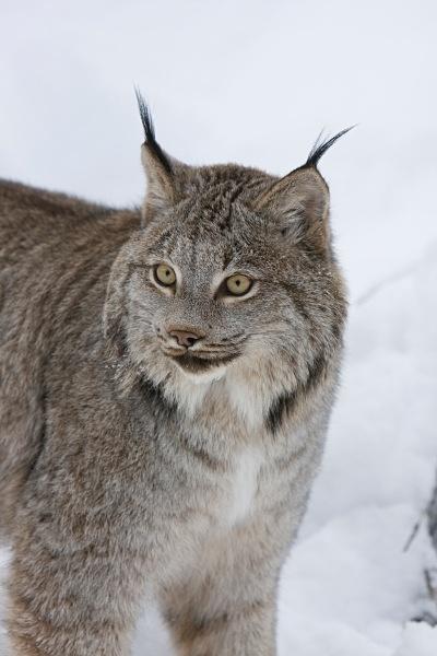 Lynx 3, IMG_0368 - Nature