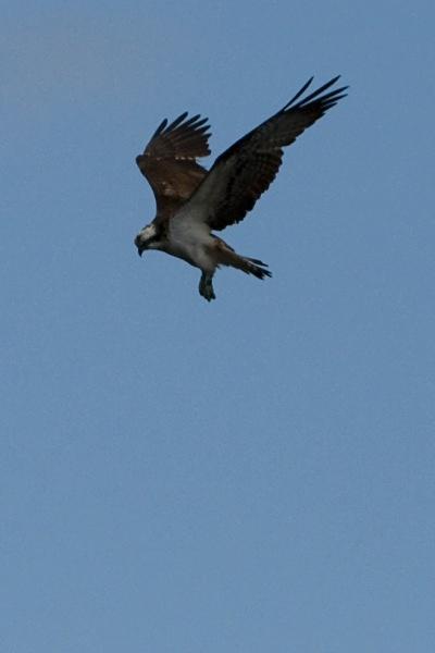 IMG_5551 - Ospreys