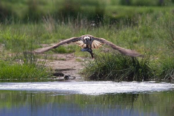 IMG_5607 - Ospreys