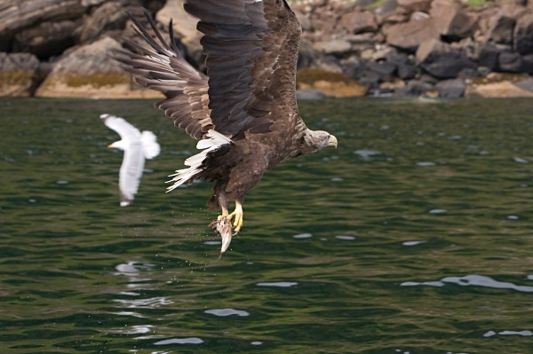 _MG_4744 - White Tailed Eagles