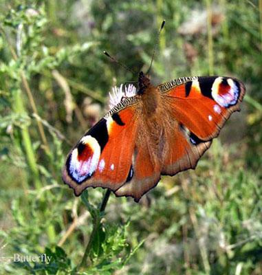 butterfly - Animals: Wild