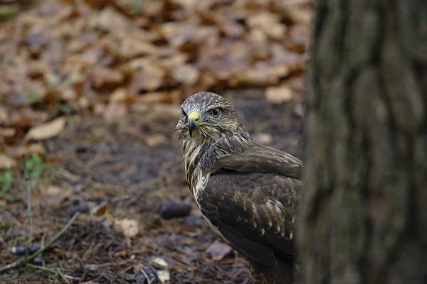 sparrowhawk on ground - Birds: Captive