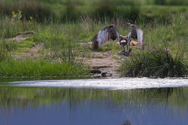 IMG_5606 - Ospreys