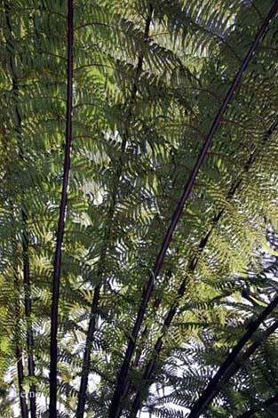 heligan ferns - trees