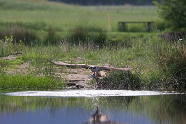 IMG_5604 - Ospreys
