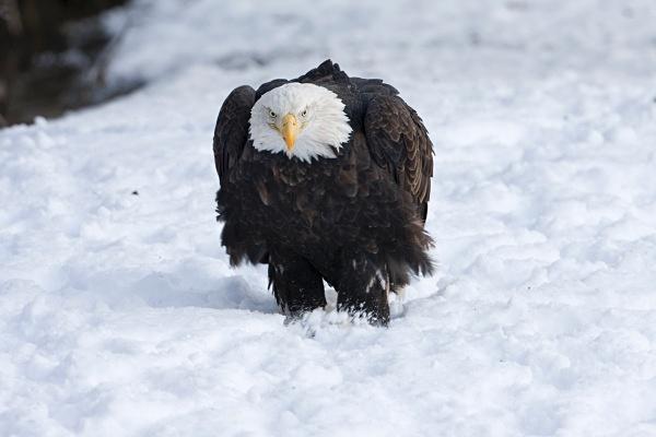 Bald Eagle IMG_1631 - Nature
