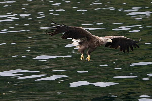 _MG_4733 - White Tailed Eagles