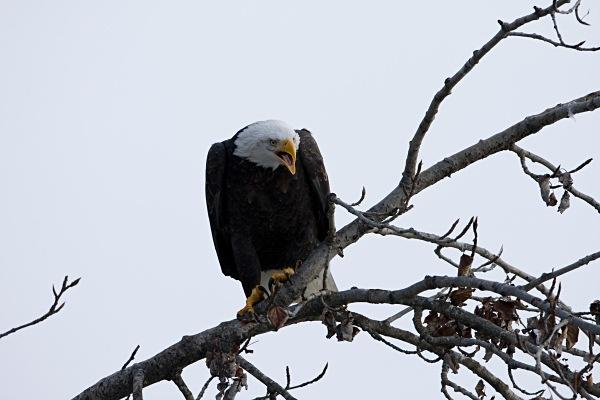 Bald Eagle roosting, IMG_1502 - Nature