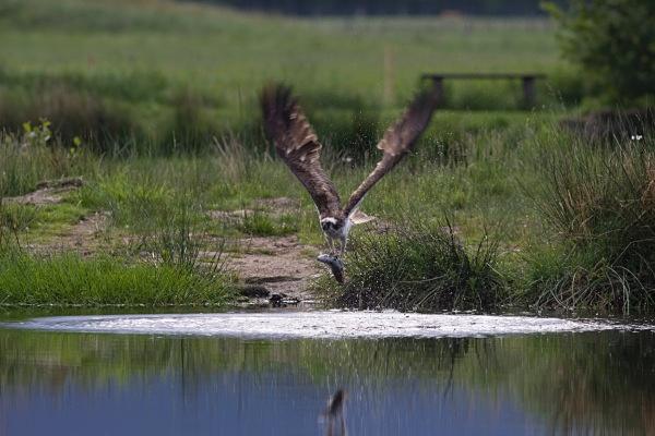 IMG_5605 - Ospreys