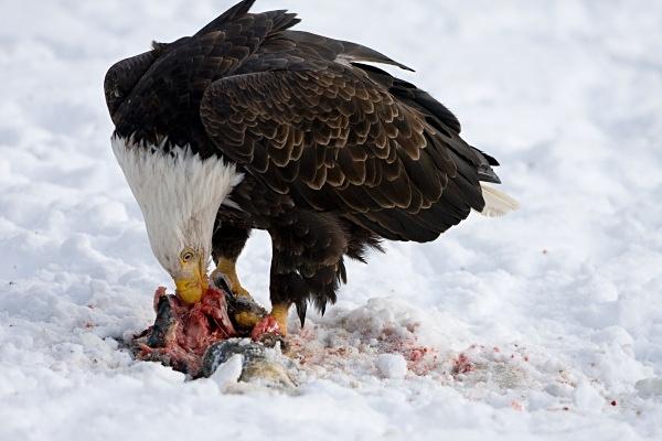 Bald Eagle feeding, IMG_1386 - Nature