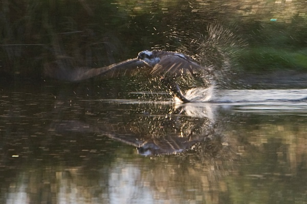 _MG_5035 - Ospreys
