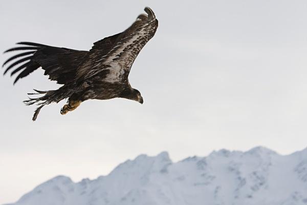 Bald Eagle IMG_1229 - Nature