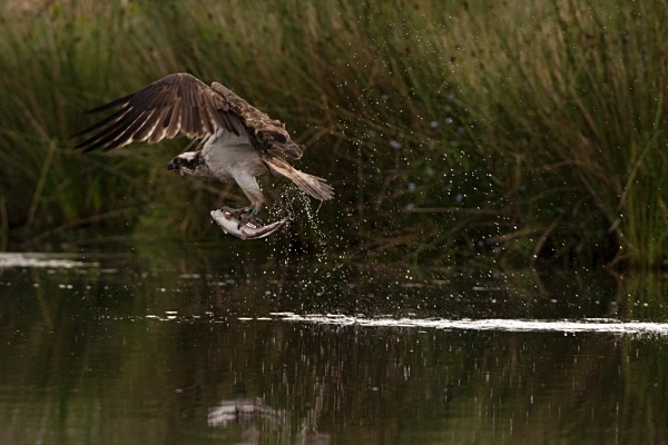 _MG_5093 - Ospreys