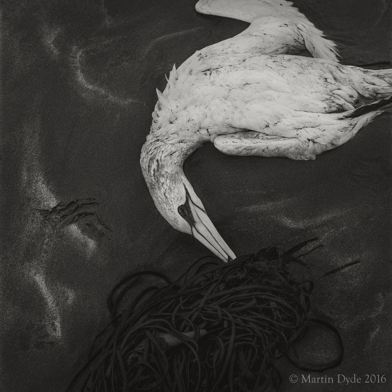 Dead gannet on beach, Broad Haven, Pembrokeshire, Wales | The Silver Monochrome: black-and-white film photography by Martin Dyde