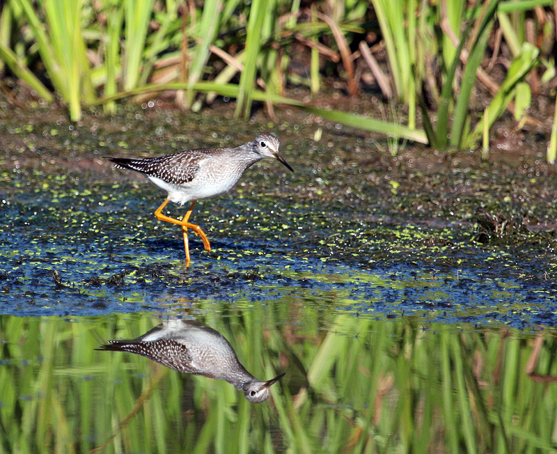 Lesser Yellowlegs - Birds of Atlantic Canada