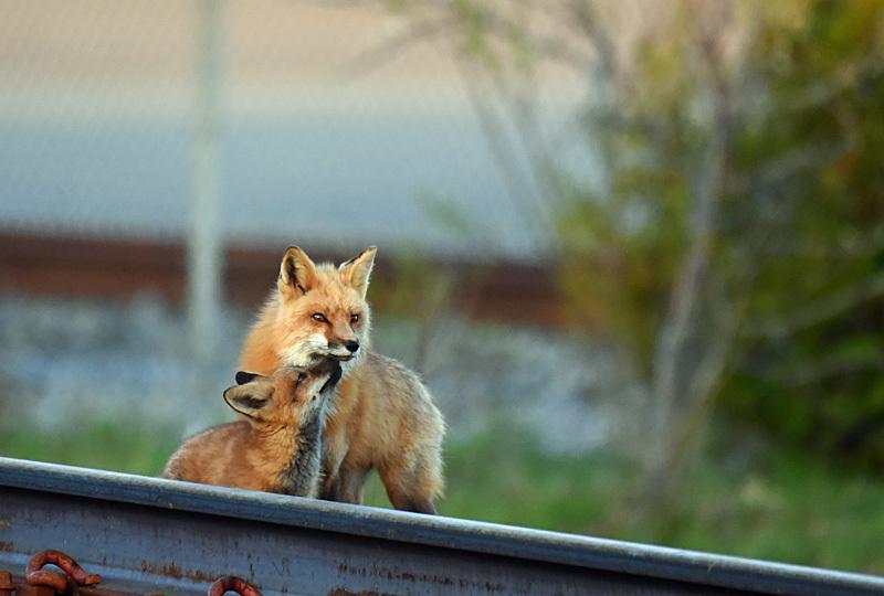 Red  Fox Vixen Vulpes vulpes with Kit - Mammals, Reptiles & Amphibians