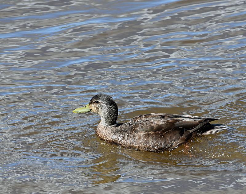 American Black Duck Anas rubripes - Birds of Atlantic Canada