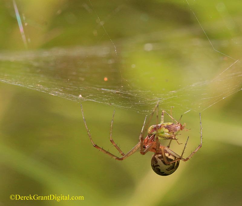 Linyphia triangularis European Sheetweb Spider New Brunswick Canada - Spiders of Atlantic Canada