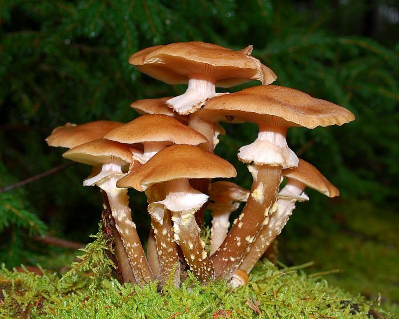 Honey Mushrooms (Armillaria mellea) - Flora
