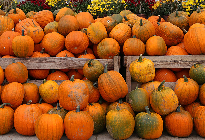 Pumpkin Patch - Autumn Festival