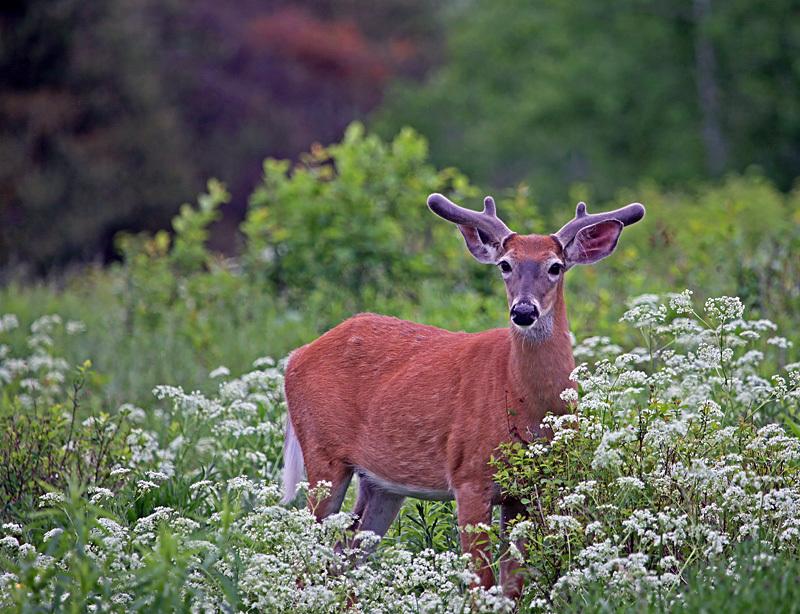 Young Buck - Mammals, Reptiles & Amphibians