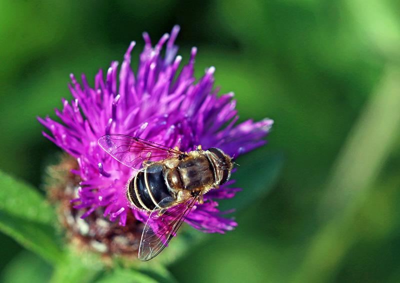 Eristalis dimidiata - Bees, Beetles, Bugs