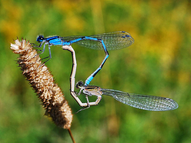Familiar Bluet (mating pair) - Dragonflies of Atlantic Canada