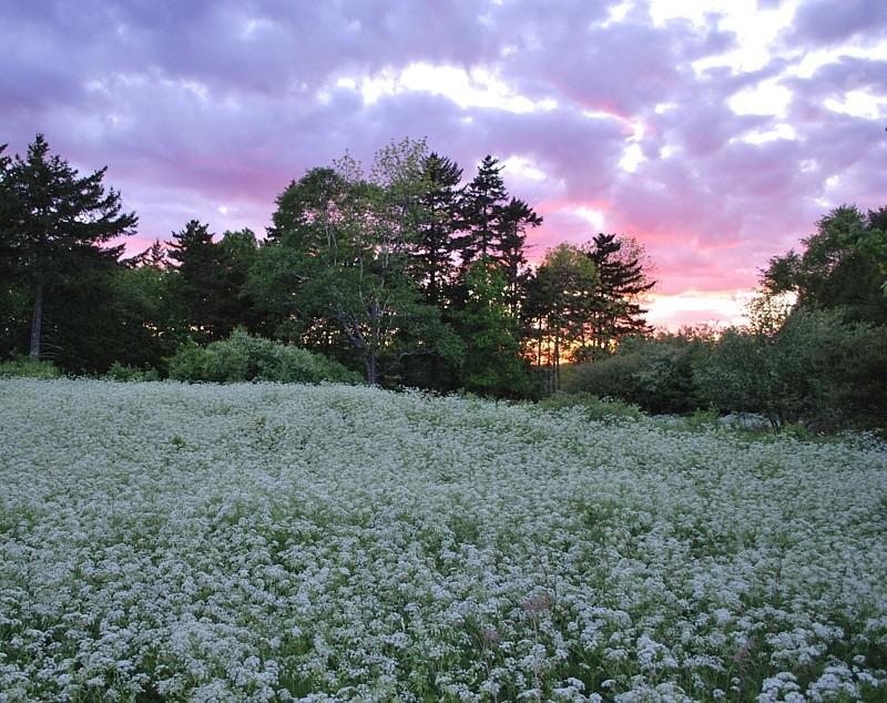 Queen Anne's Lace - Flora