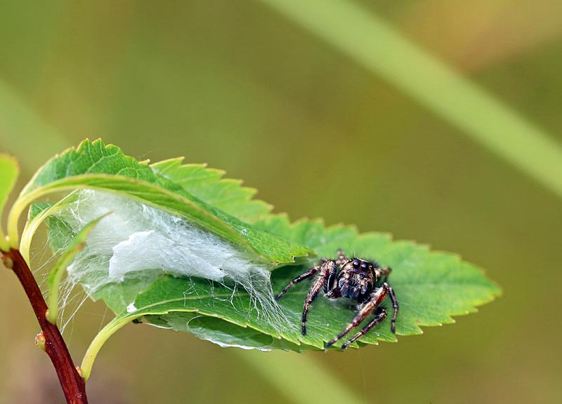 Bronze Jumper (Eris militaris) @ Nest - Spiders of Atlantic Canada