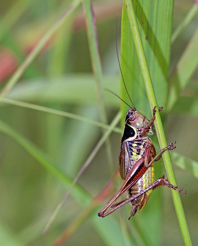 Roesel's Katydid Metrioptera roeselii - Bees, Beetles, Bugs