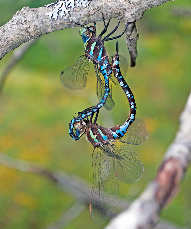 Lance-tipped Darner (mating pair) - Dragonflies of Atlantic Canada