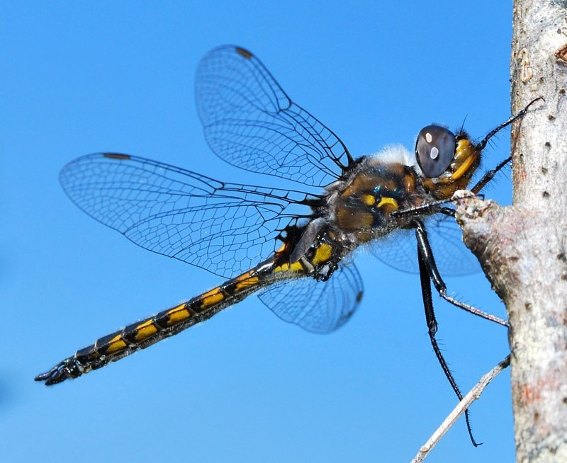 Spiny Baskettail - Dragonflies of Atlantic Canada
