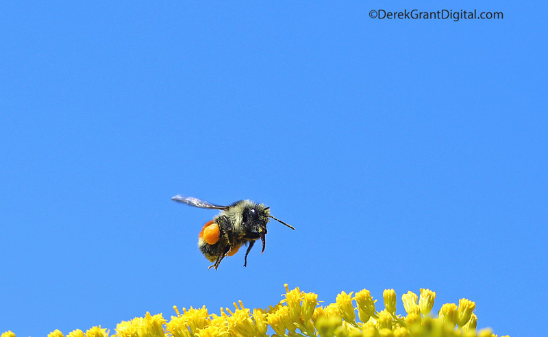 Bombus ternarius in Flight - Bees, Beetles, Bugs