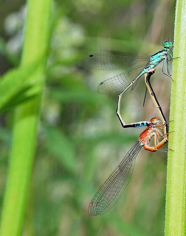 Eastern Forktail (mating wheel) - Dragonflies of Atlantic Canada