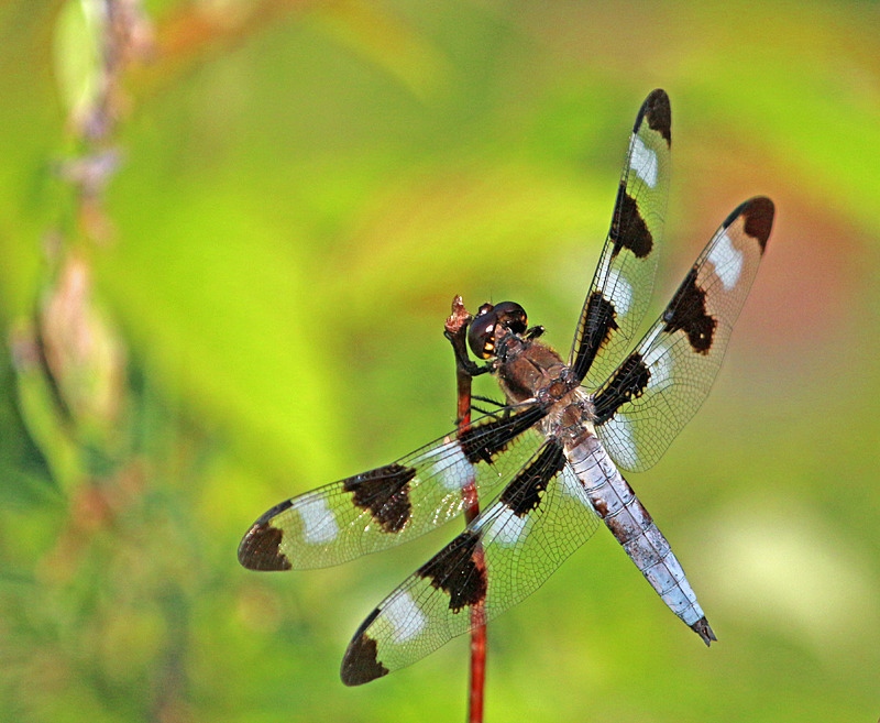 Libellula pulchella (male) - Dragonflies of Atlantic Canada