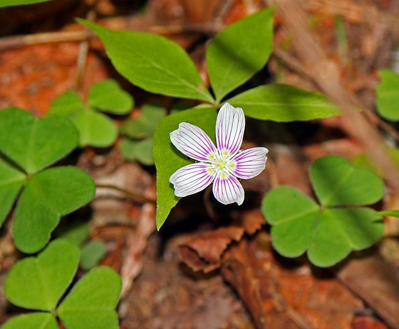 Oxalis montana - Flora