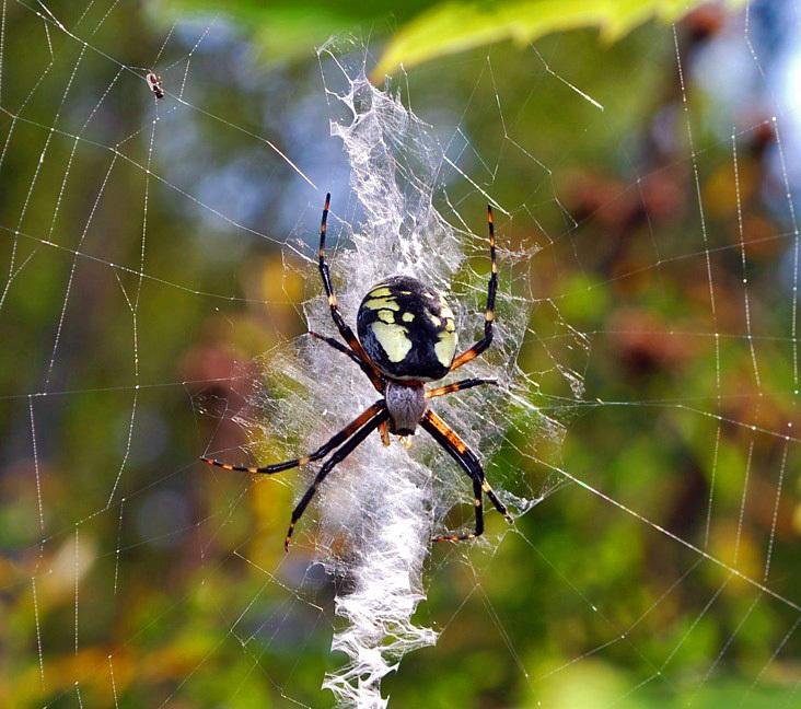 Female Argiope / Stabilimenta - Spiders of Atlantic Canada