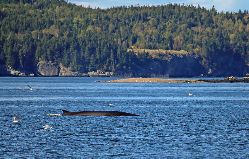 Finback Cameo - Bay of Fundy Whales