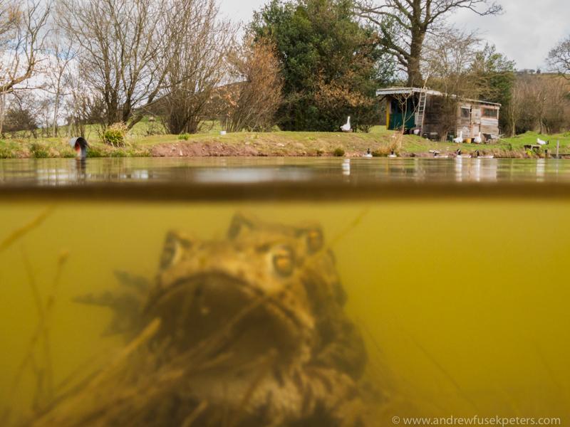 Mating Toads, Wentnor - Upland, Shropshire's Long Mynd & Stiperstones
