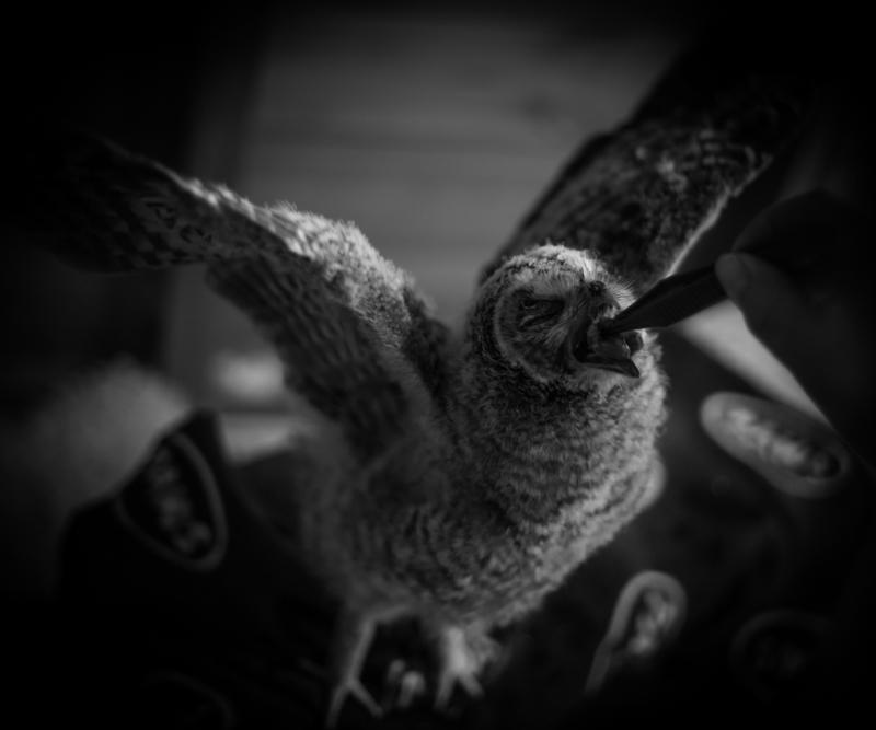 Owl Feeding - Cuan Wildlife Rescue