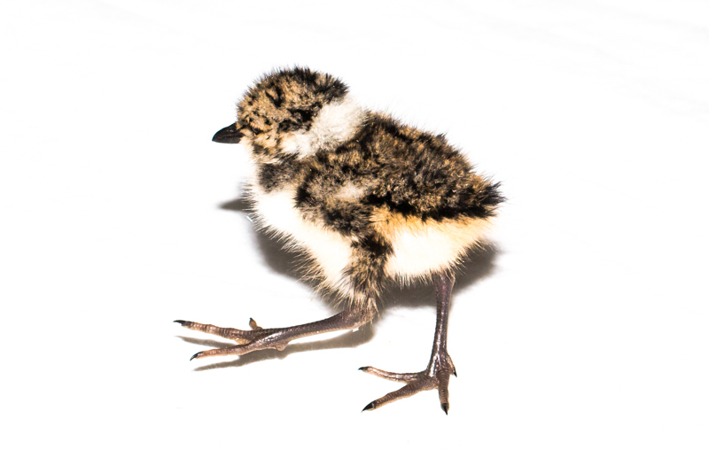 Plover? - Cuan Wildlife Rescue