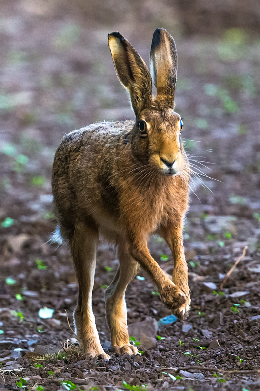 Hare about to leap - Hares