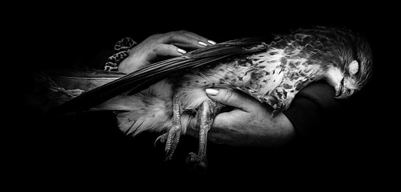 Dead Buzzard - Cuan Wildlife Rescue