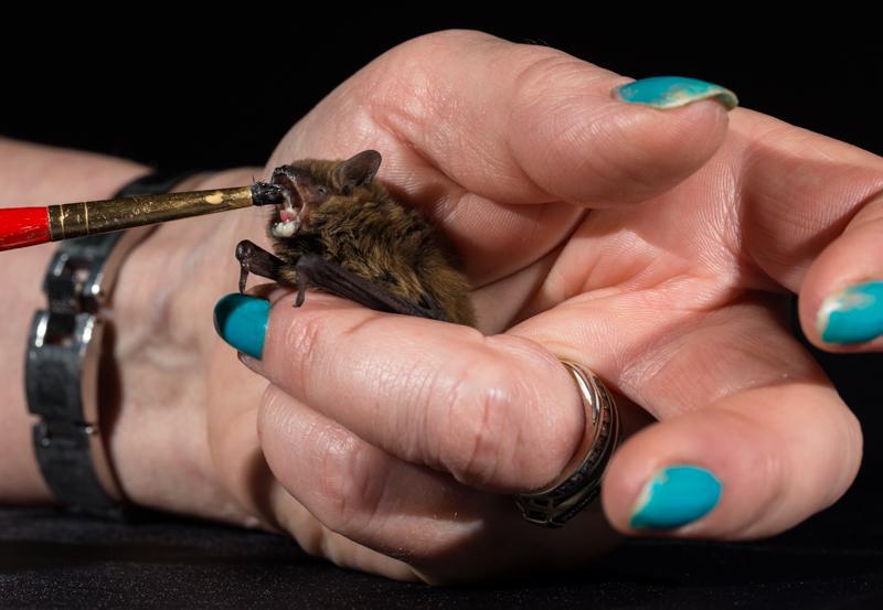 Pipistrelle bat feeding - Cuan Wildlife Rescue