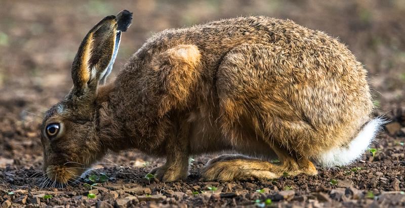 Feeding hare - Hares