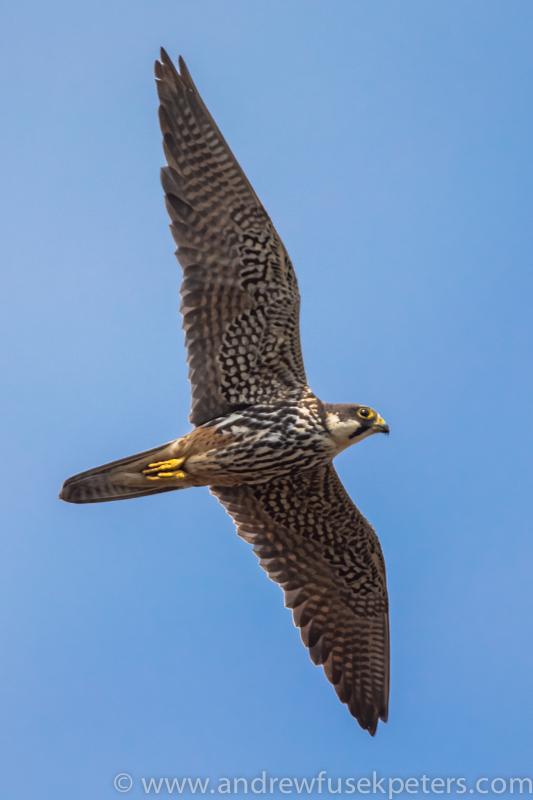 Hobby, Long Mynd - Wilderland, Wildlife & Wonder from the Shropshire Borders